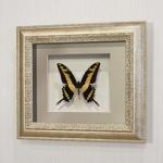 Бабочка Махаон Тоас, арт: 136с