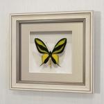 Бабочка Райская Птицекрылка, арт: 13а