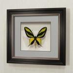 Бабочка Райская Птицекрылка, арт: 13в