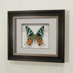 Бабочка Афродиты или Урания, арт: 145в