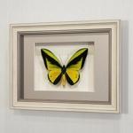 Бабочка Птицекрылка Голиаф (самец), арт: 14а