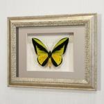 Бабочка Птицекрылка Голиаф (самец), арт: 14с