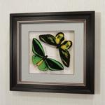 Бабочки Птицекрылка Приам и Ротшильда, арт: 15-16в