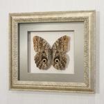 """Бабочка """"сова"""" или Калиго Бразильская (самец), арт.: 159с-01"""