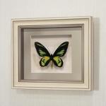 Бабочка Птицекрылка Ротшильда, арт: 15а