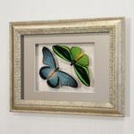 Бабочки Птицекрылка Приам и Синий парусник Залмокс, арт: 16-32с
