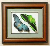 Бабочки Птицекрылка Приам и Залмокс, арт: 16-32в