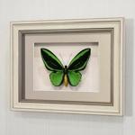 Бабочка Птицекрылка Приам, арт: 16а