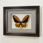 Бабочка финансового благополучия (Золотая Птицекрылка Крез), арт: 17в