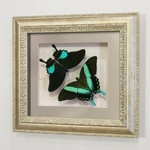 Бабочки Парусник Карна и Парусник Кавлер Блюмей, арт: 21-23с