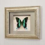 Бабочка Парусник красоты и стиля или Кавалер Блюмей, арт: 23с