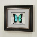 Бабочка Королевский Парусник (Лорквин), арт: 31в