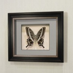 Бабочка Парусник Лормиер, арт: 39в