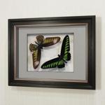 Бабочка Белый раджа или Трогоноптера Брука (самец и самка), арт: 40-41в
