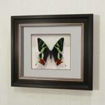 Бабочка Афродиты или Урания, арт: 45в