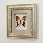 Бабочка Хвостоносец Сервилла, арт: 6с