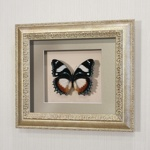 Бабочка Французский триколор, арт.: 76с-01