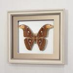 Бабочка Павлиноглазка Атлас (самец), арт.: 96а