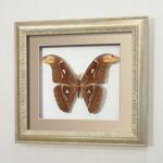 Бабочка Павлиноглазка Атлас (самец), арт.: 96с